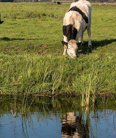 farm-pond-cattle